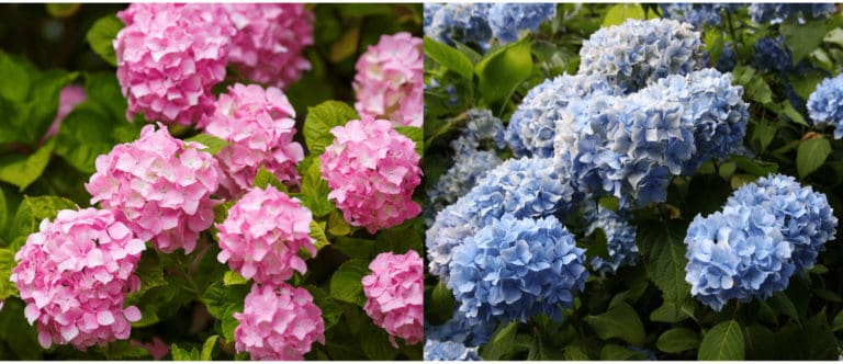 Pink and blue hydrangeas side by side