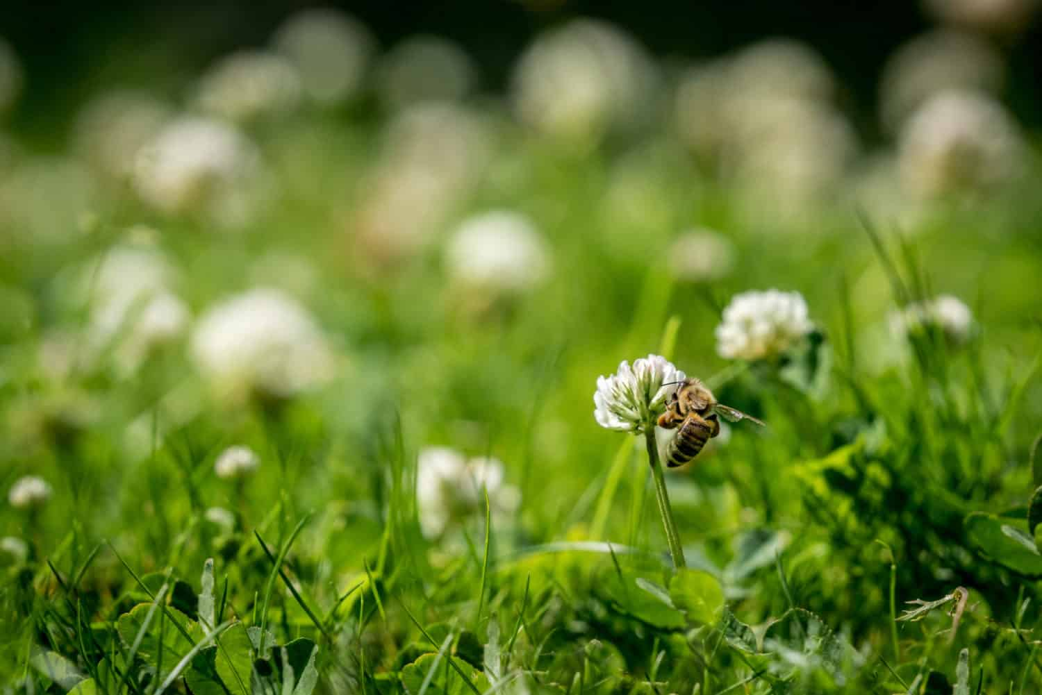Close up of wild bee next to a clover flower in a lawn