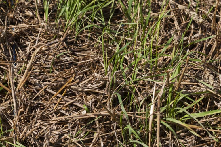 straw being used to mulch grass seed