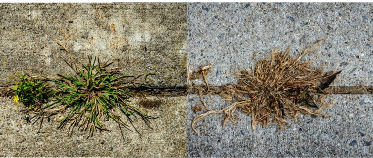 effects of using vinegar to kill lawn weeds . Before its green and after its brown