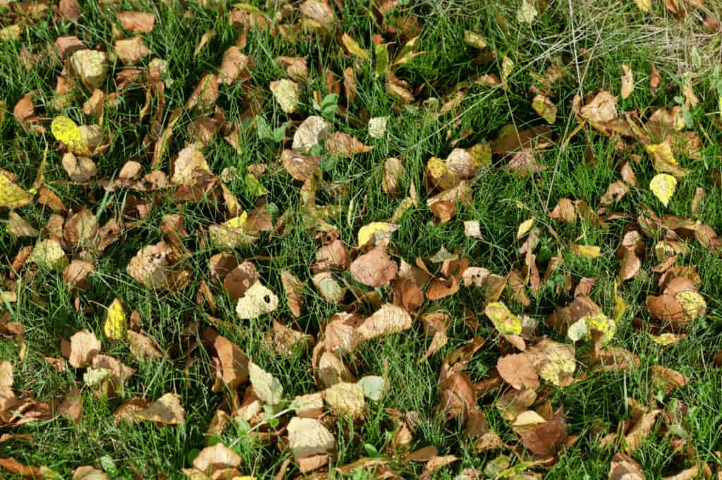 birch leaves on the floor in grass
