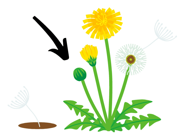 life cycle of a dandelion from seed to flowering arrow pointing at the young weed