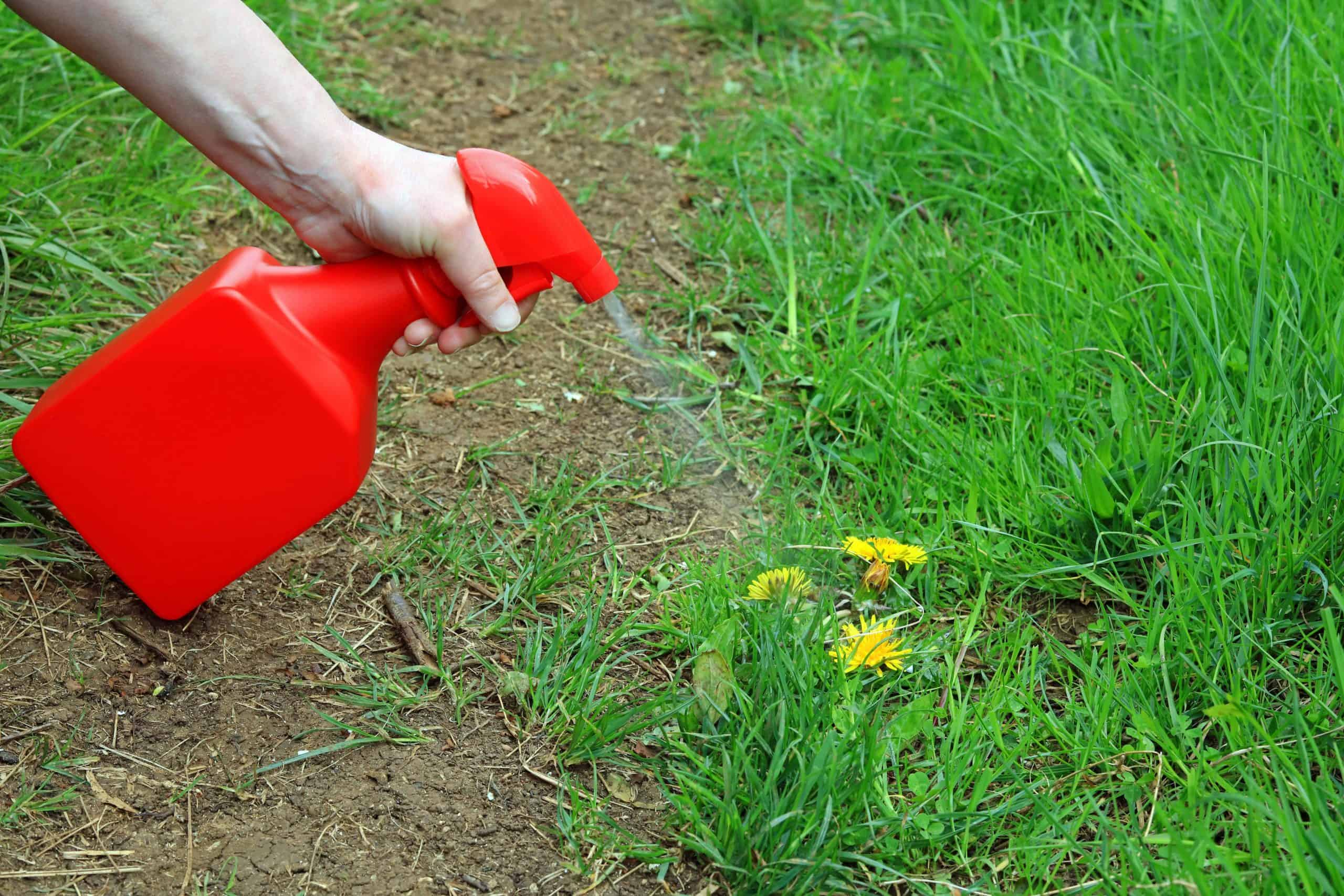 vinegar being sprayed on a dandelion lawn weed to get rid of it
